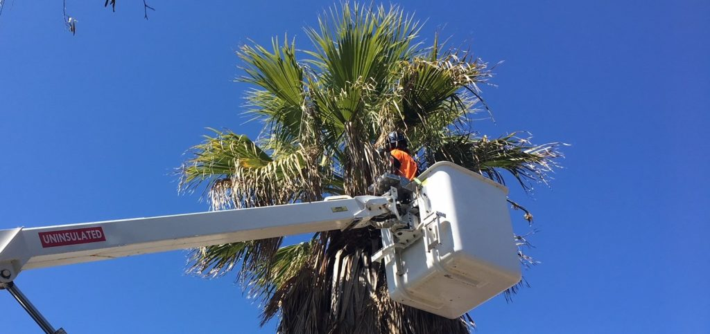 Palm Tree Removal-Royal Palm Beach Tree Trimming and Tree Removal Services-We Offer Tree Trimming Services, Tree Removal, Tree Pruning, Tree Cutting, Residential and Commercial Tree Trimming Services, Storm Damage, Emergency Tree Removal, Land Clearing, Tree Companies, Tree Care Service, Stump Grinding, and we're the Best Tree Trimming Company Near You Guaranteed!