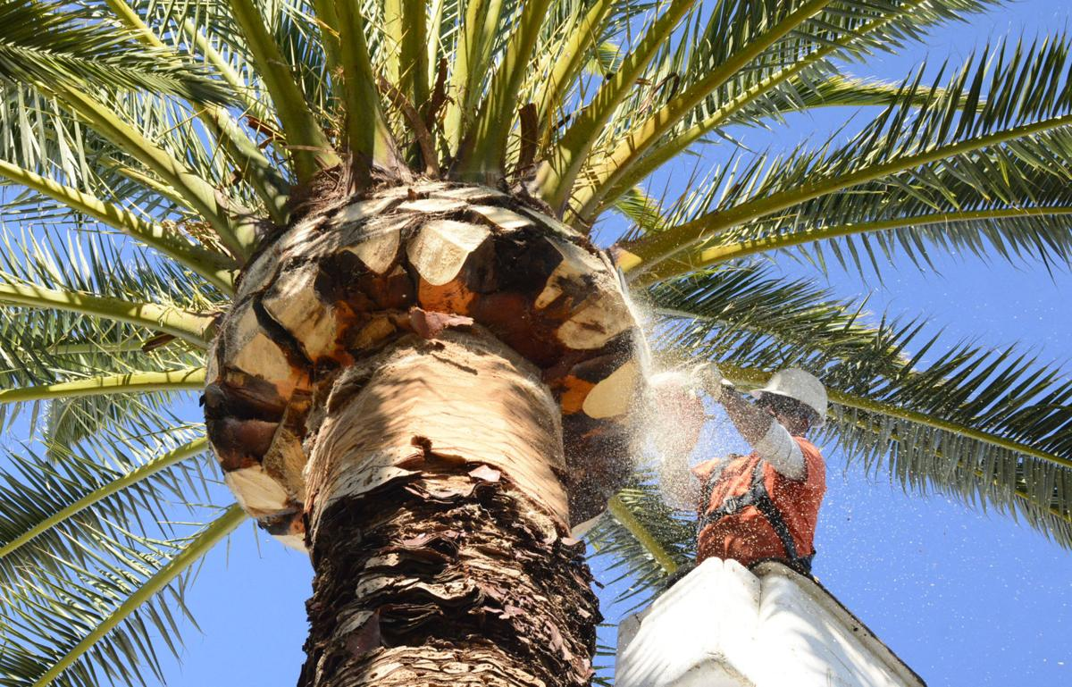 Palm Tree Trimming-Royal Palm Beach Tree Trimming and Tree Removal Services-We Offer Tree Trimming Services, Tree Removal, Tree Pruning, Tree Cutting, Residential and Commercial Tree Trimming Services, Storm Damage, Emergency Tree Removal, Land Clearing, Tree Companies, Tree Care Service, Stump Grinding, and we're the Best Tree Trimming Company Near You Guaranteed!